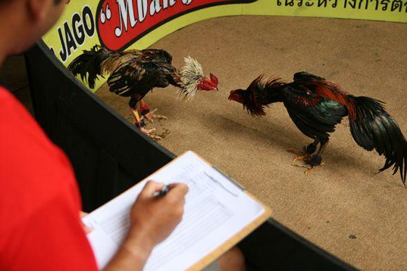 Ciri Supit Belakang Ayam Aduan Pukulan Maut